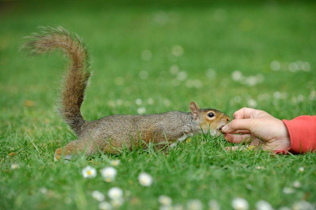 Esquirol en Regent Park - Visitar Londres