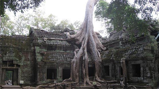 Angkor Watt templo con arbol