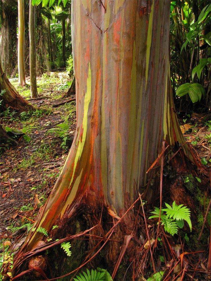 arbol arcoiris hawai